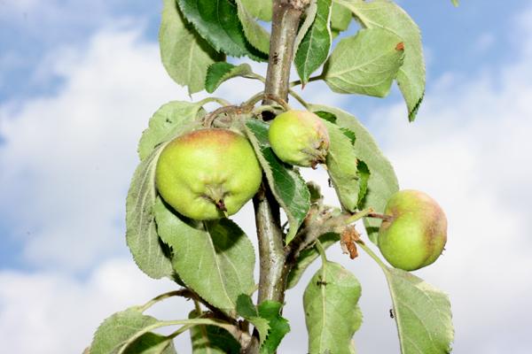 appelboompjes 2